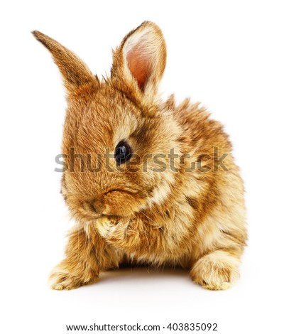 Isolated image of a brown bunny rabbit. - stock photo