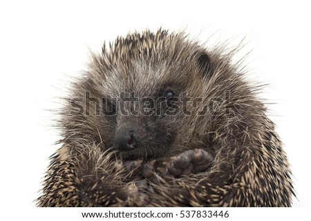 Isolated image of a cute balled up hedgehog