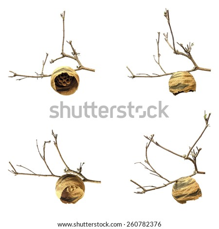 Isolated image of hornet's nest which built from 2 color clay hang on dead branch of tree - stock photo