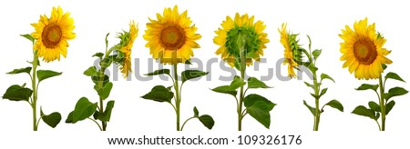 isolated images arranged one behind the other sunflowers on a white background - stock photo
