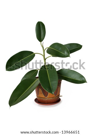 Isolated indoor plant with big green leafs in nice flowerpot