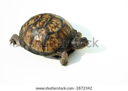 Isolated japanese Box turtle - stock photo