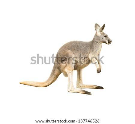 isolated kangaroo on white background - stock photo