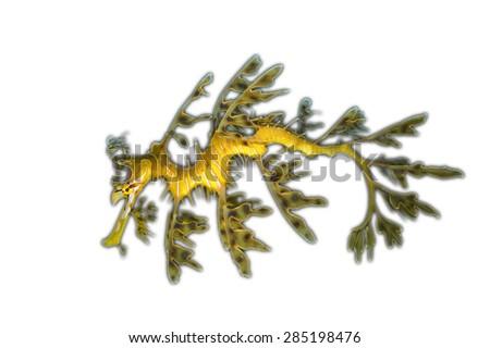 Isolated Leafy Sea Dragon - stock photo
