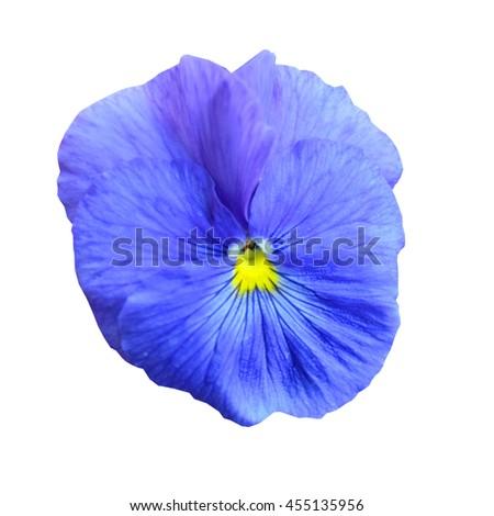 Isolated light blue Pansy (Viola x wittrockiana) flower head - stock photo