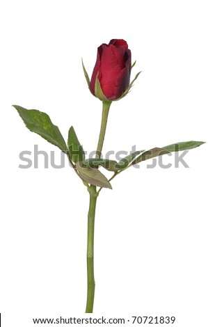 Isolated long stem red rose bud. - stock photo