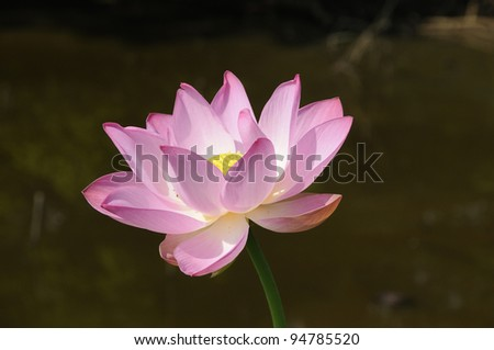 Isolated lotus - stock photo