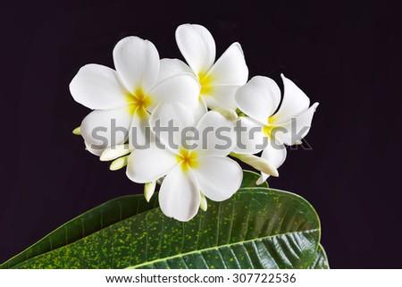 isolated lovely fresh harmony white flower frangipani or plumeria and leaf on black background - stock photo