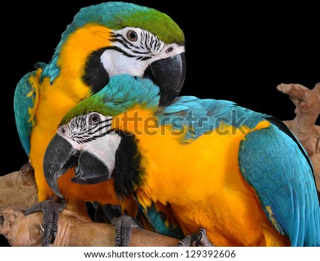 Isolated Macaw Parrots. Colorful birds