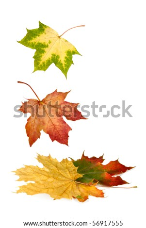 Isolated maple leaves in bright vibrant autumnal colors falling down - stock photo