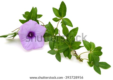 Isolated Morning Glory with vines and leaves on a white background - stock photo
