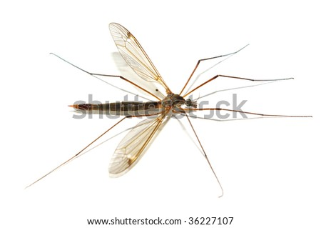 Isolated mosquito. Element of design. - stock photo