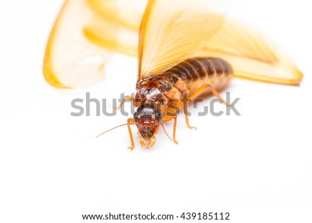 Isolated of alate or termite white ant on white background - stock photo