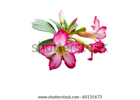 isolated of hibiscus flower on white background - stock photo