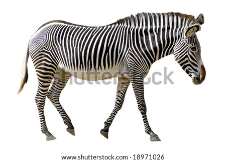 Isolated of profile Grevy zebra walking in the white background - stock photo