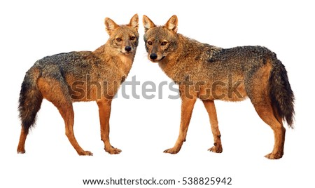 Isolated on white background, pair of Indian jackals, Canis aureus indicus, staring directly at camera. Wilpattu, Sri Lanka.