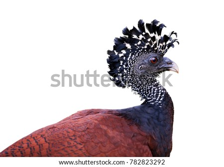 Isolated on white background, portrait of pheasant-like bird from rainforest, Great curassow, Crax rubra. Female with erected crest. Boca Tapada rainforest area, Costa Rica, Central America.