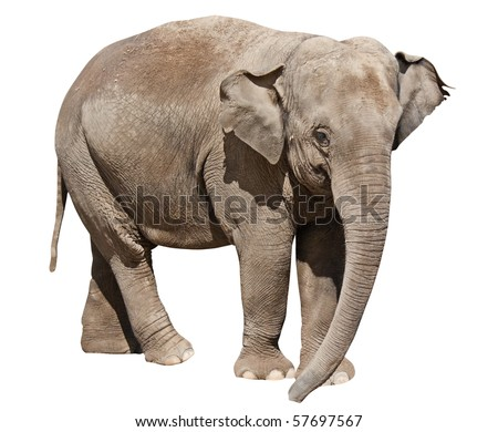 Isolated on white elephant by clipping path - stock photo
