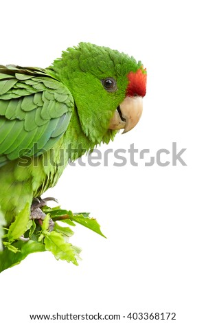 Isolated on white, vertical portrait of green and red Scarlet-fronted Parakeet, Psittacara wagleri perched on hibiscus branch. Wildlife photo of aratinga parrot in Colombian forest. - stock photo