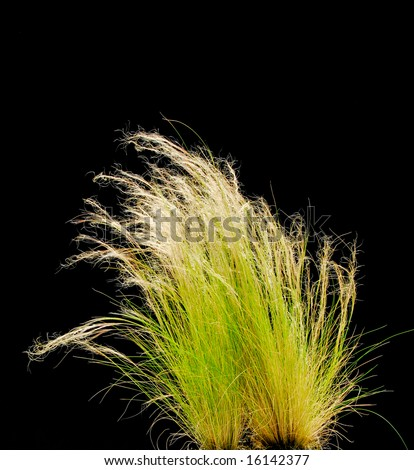 Isolated Ornamental Grass on Black