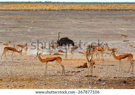 Isolated Ostrich surrounded by a herd of Springbok at a waterhole In Etosha