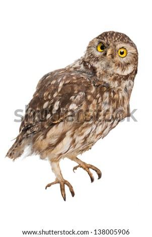 Isolated owl - stock photo
