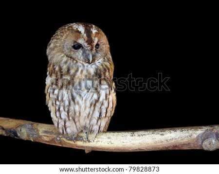 Isolated owl on a deep black background - stock photo