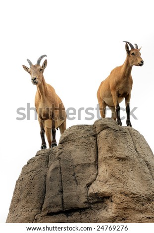 Isolated pair of mountain goats on a hill - stock photo