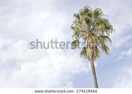 Isolated palm tree - stock photo