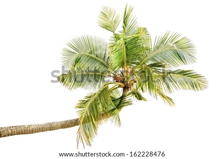 Isolated palm tree on white background - stock photo