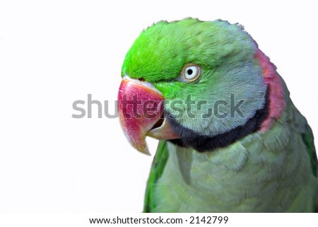 Isolated parrot - stock photo