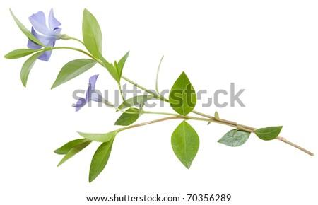 isolated periwinkle on white - stock photo