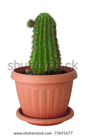 isolated photo home cactus in a brown pot. - stock photo