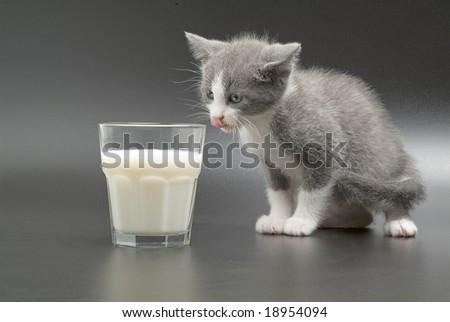 Isolated photo of kitten drinking milk. - stock photo