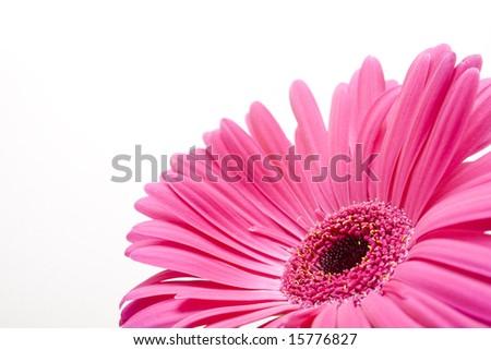 Isolated pink daisy - stock photo