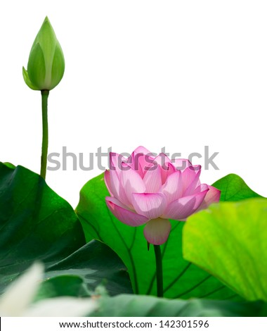isolated pink lotus - stock photo