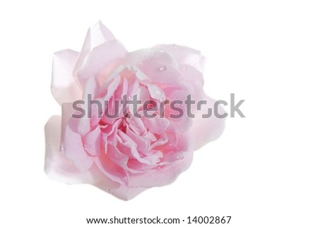isolated pink rose blossom with little water drops