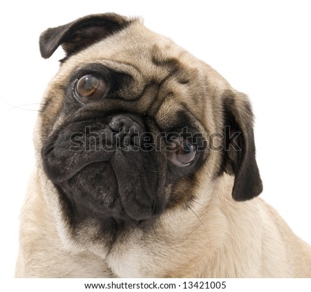Isolated Pug - stock photo