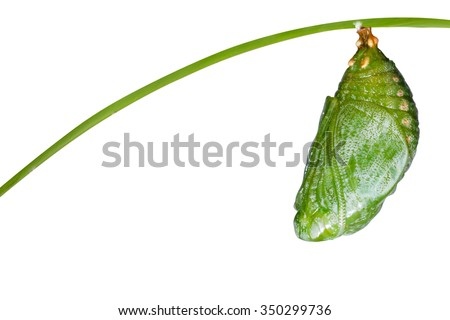 Isolated pupa of Tawny Rajah butterfly with clipping path - stock photo