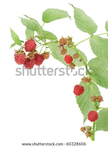 Isolated raspberry on branches with leaves postcard macro.