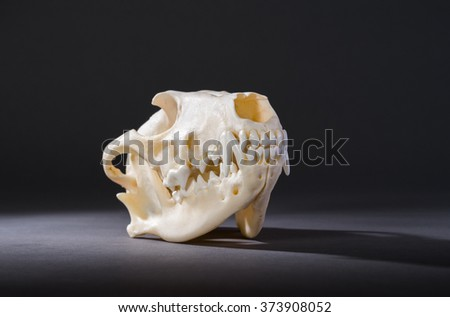 Isolated red fox skull on a black background