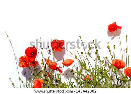 Isolated red poppies - stock photo