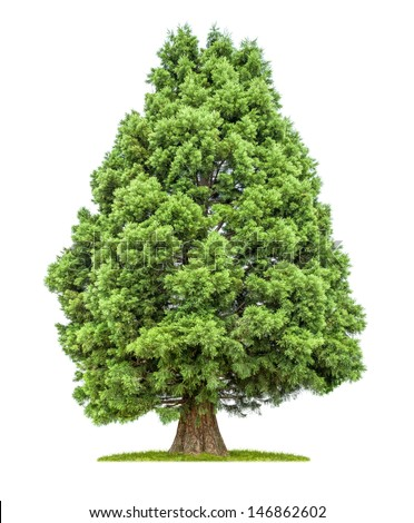 isolated redwood tree on a white background - stock photo