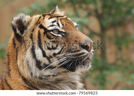 Isolated siberian tiger close up