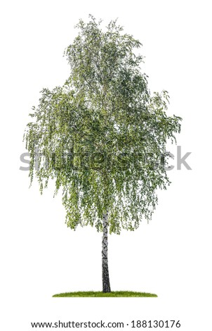 isolated silver birch on a white background - stock photo