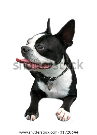 Isolated smiling Boston Terrier with curled tongue. - stock photo