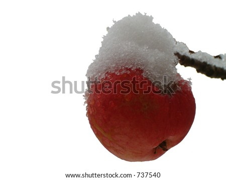 isolated snow capped red apple on tree branch
