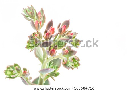 Isolated succulent : Echevera flower isolated on withe background. - stock photo