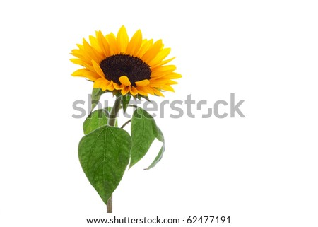 isolated sunflower with beautiful leaves on white background - stock photo