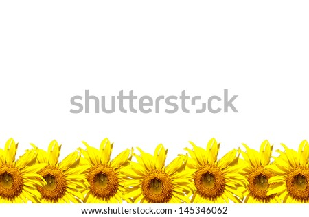 Isolated sunflowers in the row on white background